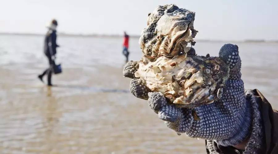 Chowhound can save Danish waters? You should ask the oysters come