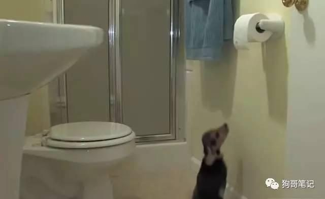 Dogs follow the cat to the toilet to see should not see, the owner is tragedy