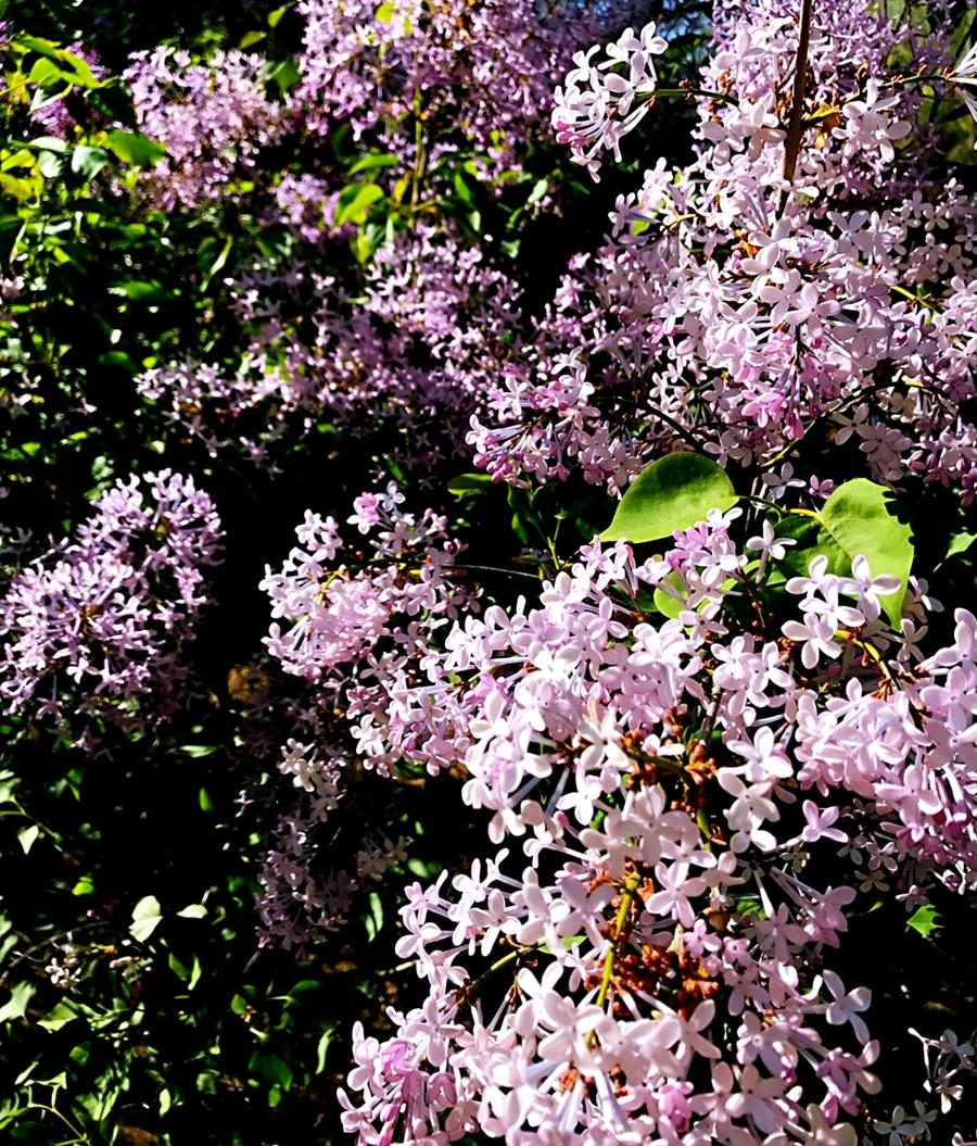 Hohhot lilac blooming