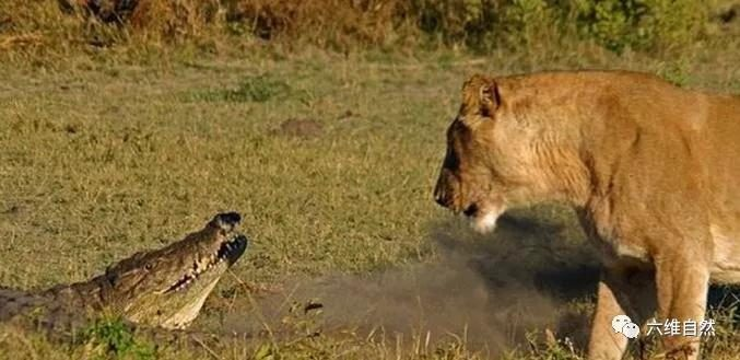 The crocodile was siege by the lions on the shore and dared to cry in the water to defeat the lion.
