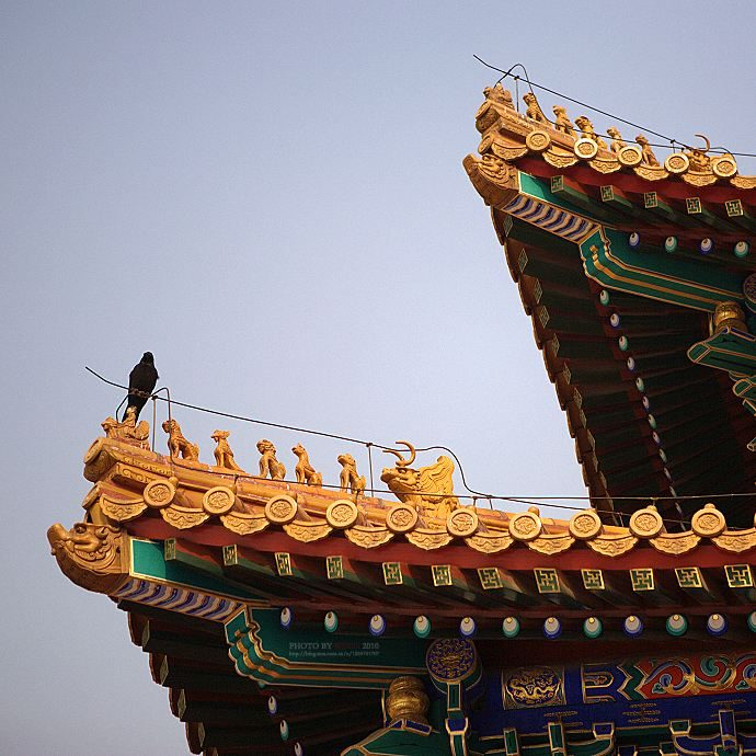 Why are there so many crows in the Forbidden City?  No wild history says so much
