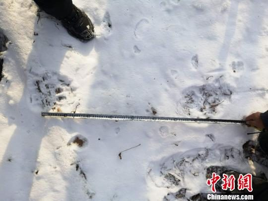 The tiger in the Shulan forest area in Jilin is judged by experts. The tiger is inland to find the territory.