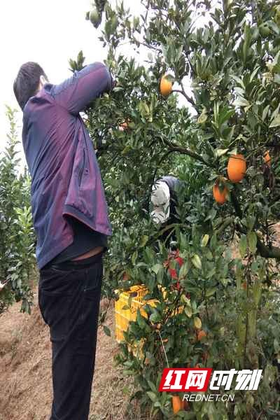 Worry! Yizhang fruit growers, 30,000 Jin navel oranges for help because of cold weather