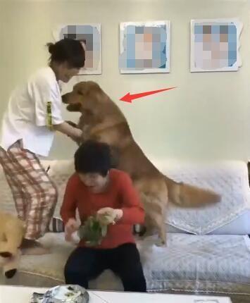 母女俩干架 金毛狗看到后不仅没帮自己的主人 还对主人这样做!-图片3