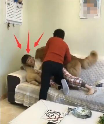 母女俩干架 金毛狗看到后不仅没帮自己的主人 还对主人这样做!-图片4