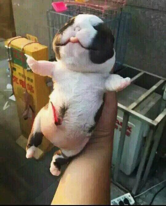 铲屎官:自家斗牛犬产下奇特外星狗!开心不过三秒,活不过三天