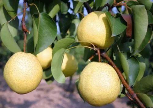 電商幫扶,如何破解千萬斤酥梨銷售難?