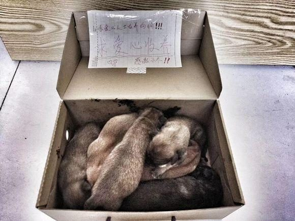 捡到一窝小奶狗,狗狗们饿得嗷嗷叫,女孩看到箱