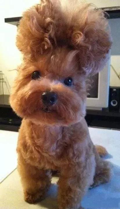 泰迪两个月没做美容