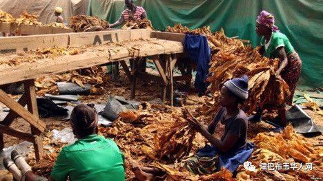 【津巴新闻】今年烟草季危机四伏:烟农受困外汇短缺