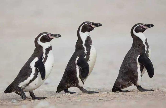 一對企鵝孵蛋失敗憤而行兇,殘殺了4只同胞,包括一對企鵝寶寶!