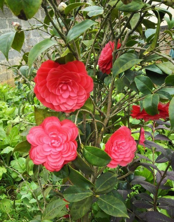拿獎拿到手軟的茶花,花色艷麗,新手養花首選,非常值得珍藏