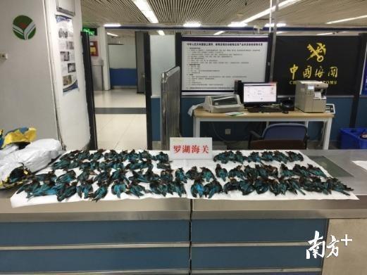 太殘忍!旅客攜帶222只白胸翡翠鳥標本入境,竟為用作牛仔褲配飾