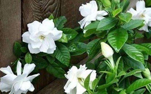 在家養一盆「梔子花」,養護只需記住3點,養出潔白清香的梔子花