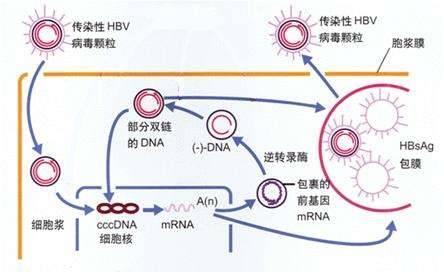 慢性乙肝感染过程和免疫耐受清除