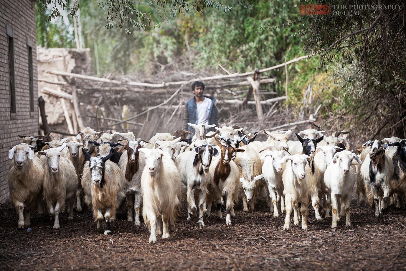 新疆羊肉好吃关键是羊的品种,羊中超级贵族刀郎羊,价格高的吓人