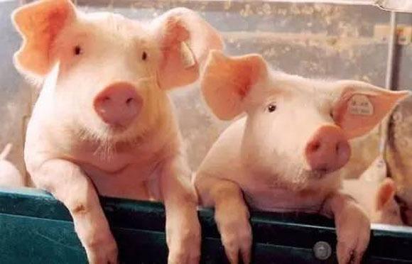 """10.01豬價以穩迎國慶,有望回歸""""原位""""嗎看過你就明白了"""