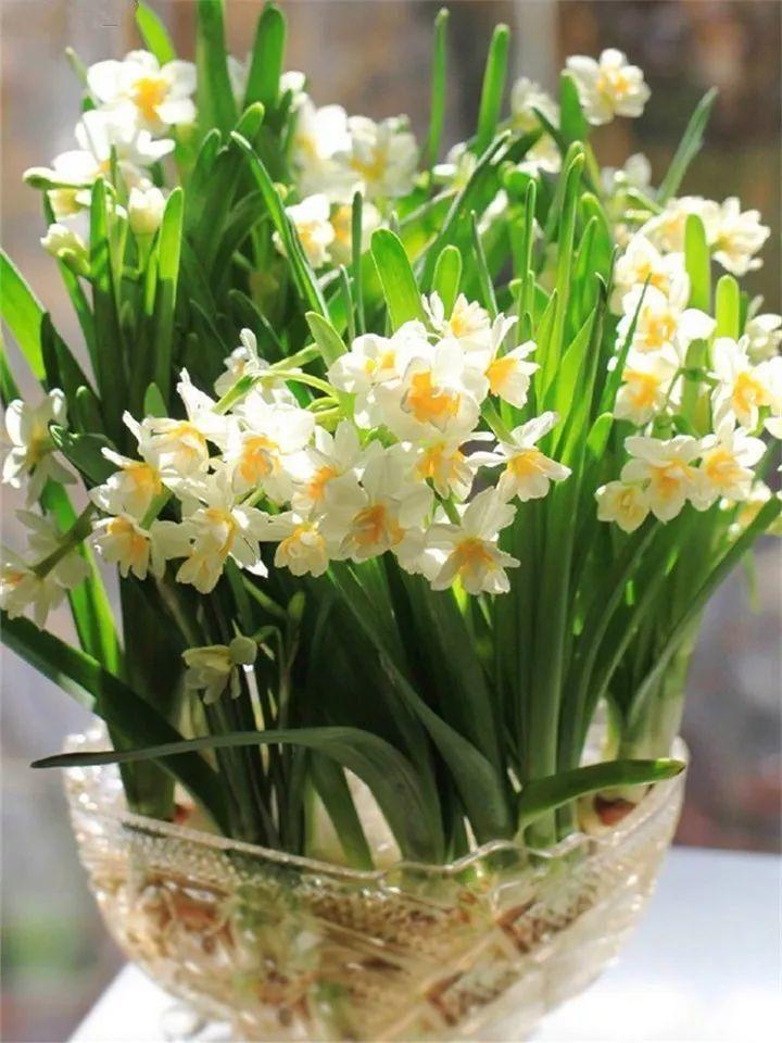 水仙盆里加點它,葉子粗壯不徒長,一個月後就能開花!