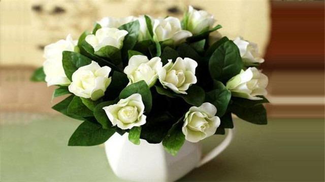 你種植物嗎,你知道梔子花嗎,梔子花的養殖方法和注意事項是什麼