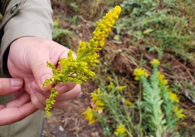 <b>加拿大一支黃花是啥草,為什么農民都怕它,見到就要鏟除掉</b>
