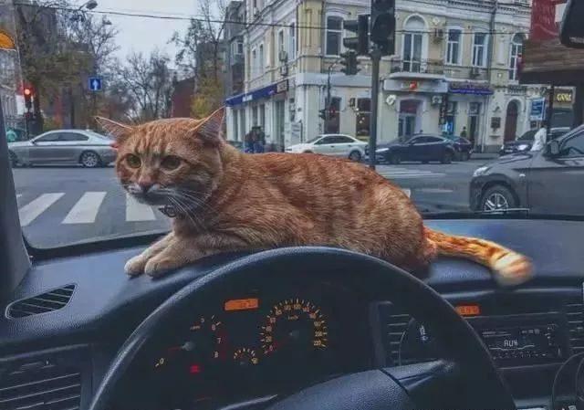 <b>帶貓上班是怎樣的體驗?這位出租車司機告訴你們</b>