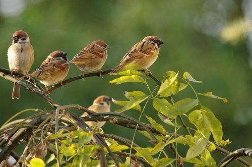 养鸟人不知道的冷知识,麻雀不是一种鸟,40斤重的鸟也会飞?(图5)
