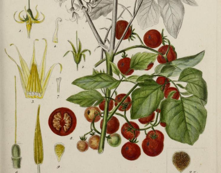 百年前,貪吃的人類終于對這個觀賞植物下手了!