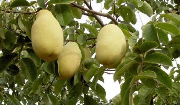 功效顯著的曹州木瓜