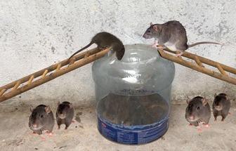 手工制作塑料桶捕鼠器
