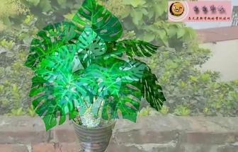 利用綠色塑料瓶DIY龜背竹盆栽